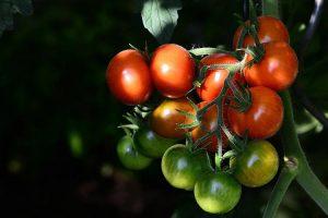 Rote und andere Rundlinge: Für Tomatenfreunde