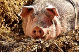Mein eigenes Schwein
